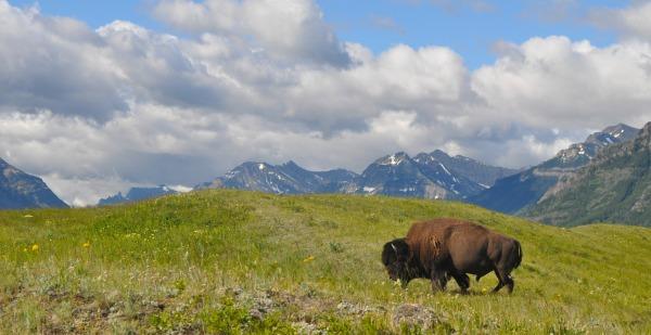 Bison- Waterton National Park- www.mysecondbreakfast.com