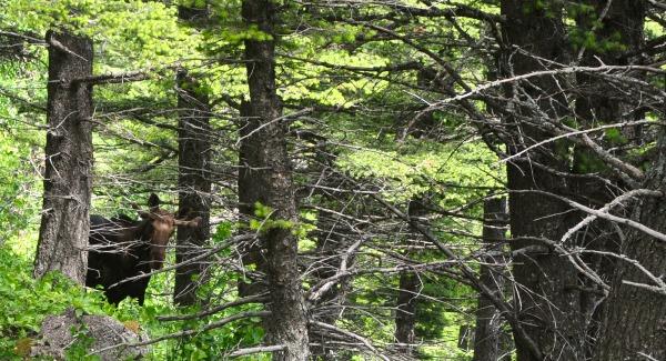 Moose- Waterton National Park- mysecondbreakfast.com